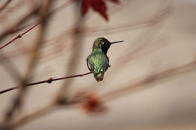 Anna's                       hummingbird in Roseville, California