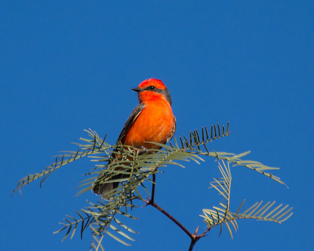 Vermilion flycatcher in                                                           Tucson,                                                           Arizona