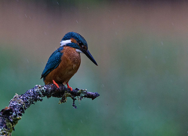 A                         common kingfisher in Kirkcudbright, Scotland