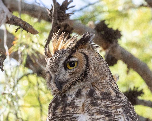 Great horned owl in Tucson,                                                           Arizona