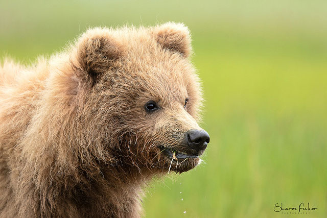 Brown bear cub at             Lake Clark National Park and Preserve, Alaska --