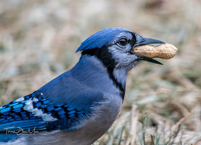 Blue jay at Hurst,             Texas --