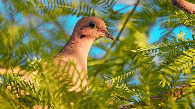 Mourning dove at             Maricopa, Arizona --