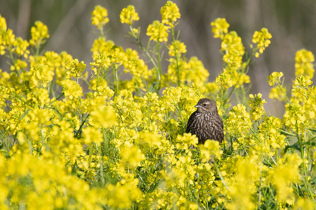 Female                                                           red-winged                                                           Blackbird in                                                           Morro Bay,                                                           California --