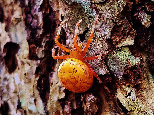 Marbled                                                           orb-weaver at                                                           Quiet Waters                                                           Park in                                                           Annapolis,                                                           Maryland