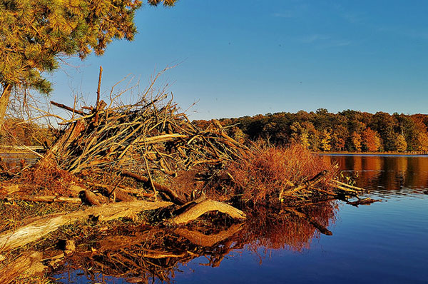 Beaver                                                           lodge at Cash                                                           Lake on the                                                           South Tract of                                                           the Patuxent                                                           Research                                                           Refuge near                                                           Laurel,                                                           Maryland