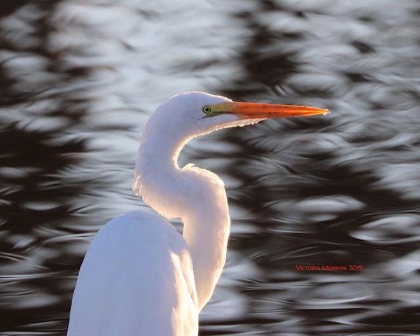 Great                                                           egret at Pismo                                                           Beach,                                                           California