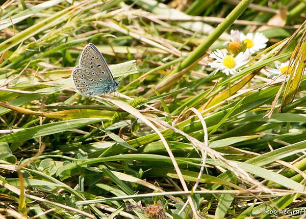 Reverdin's blue butterfly