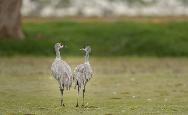 Sandhill                                                       cranes at the                                                       Merced National                                                       Wildlife Refuge in                                                       California