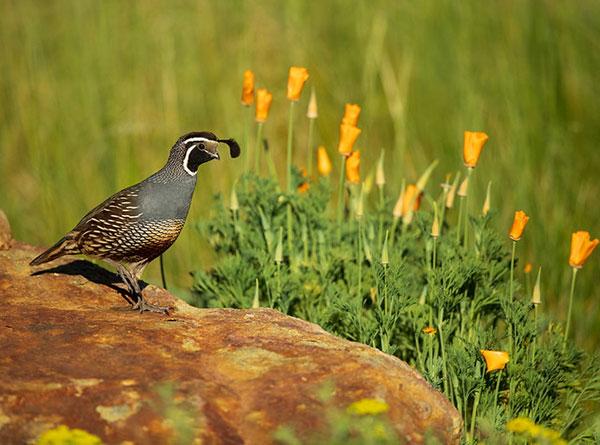 California quail and poppies