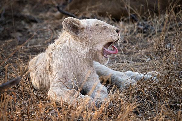 White                                                           lion cub taken                                                           in Africa