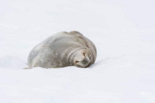 Weddell                                                           seal, Dorian                                                           Bay on the                                                           northwest side                                                           of Wiencke                                                           Island, in the                                                           Palmer                                                           Archipelago of                                                           Antarctica