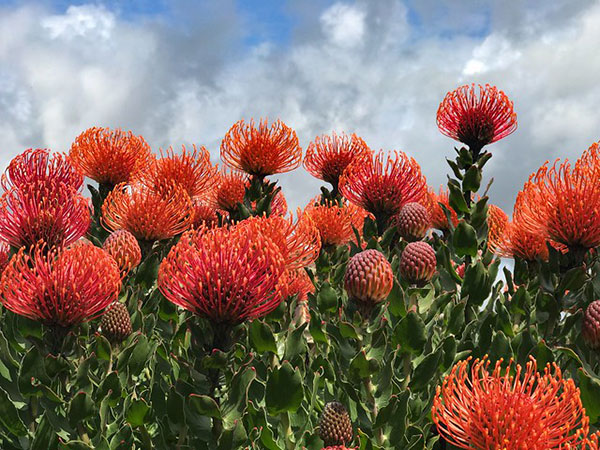 "Protea plant, commonly referred to                                 as the ""pincushion plant"" at Avila                                 Beach, California"