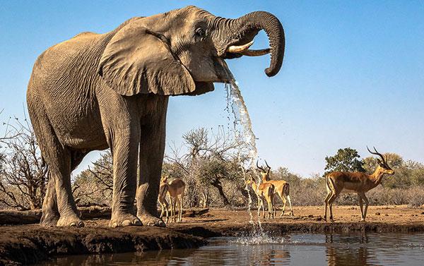 Elephant                                                           and Impalas at                                                           the waterhole,                                                           Botswana,                                                           Africa