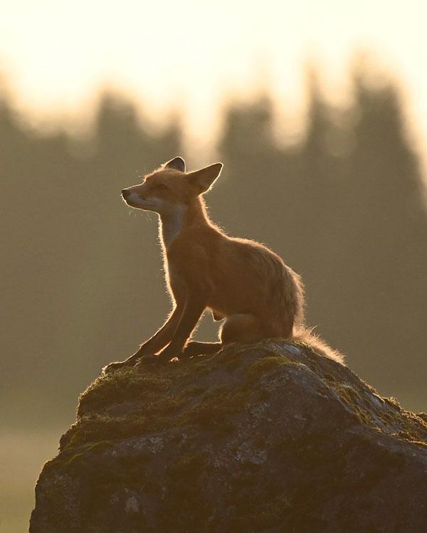 Fox at                                                           Lake Clark                                                           National Park                                                           in Alaska