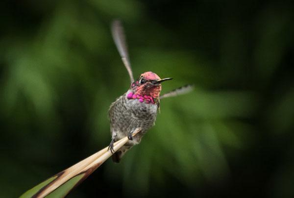 Anna's                                                           hummingbird at                                                           San Luis                                                           Obispo,                                                           California