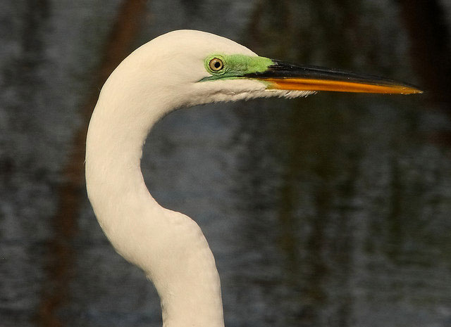 -- Great egret,                                        Venice Area Audubon Rookery,                                        Venice, Florida --