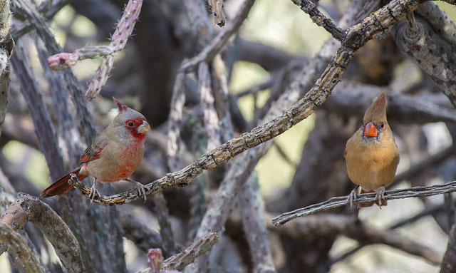 -- A                         pyrrhuloxia (desert cardinal) singing atop a                         saguaro cactus in the foothills of the Santa                         Catalina Mountains near Tucson, Arizona --