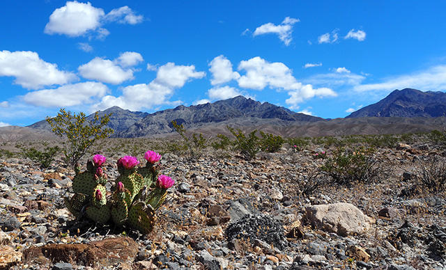 --                         Beavertail cactus, Amargosa Range, Death Valley                         National Park --