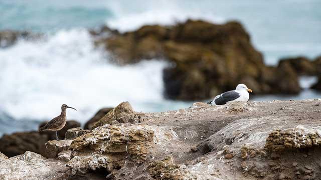 --                         Whimbrel and gull taken at Bird Rock, Pebble                         Beach, California --
