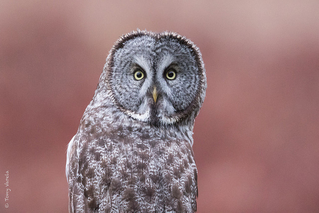 -- Great grey owl,         Prairie Creek Redwoods State Park, California --