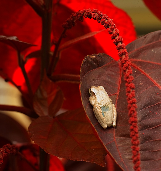 -- Tree frog,                                       Sarasota, Florida --