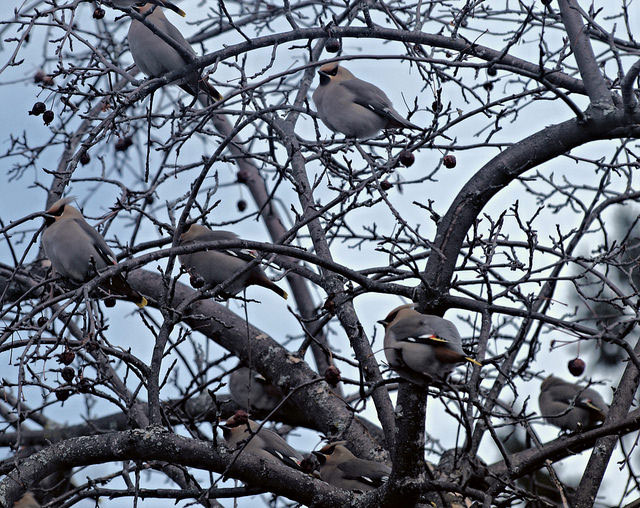 -- Bohemian                                                       waxwing resting in                                                       the apple tree --                                                       Ottawa, Ontario,                                                       Canada --
