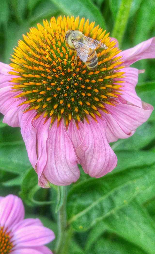 --                         Echinacea and honey bee, Washington D.C. --