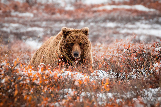 --                         Grizzly in Denali National Park, Alaska --