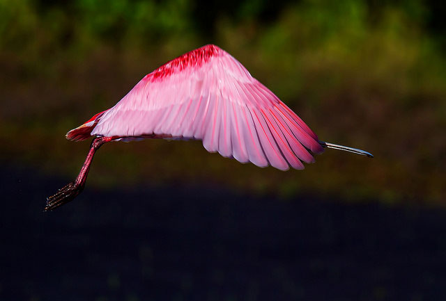 -- Flamingo in flight         --