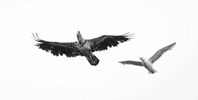 --                         Gull chasing an immature bald eagle in                         Anchorage, Alaska --