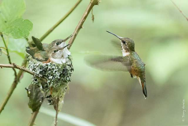 --                         Hummingbirds taken at the Billy Frank Jr.                         Nisqually National Wildlife Refuge in Washington                         --