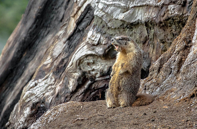 -- Yellow-bellied         marmot, Sequoia National Park, California --