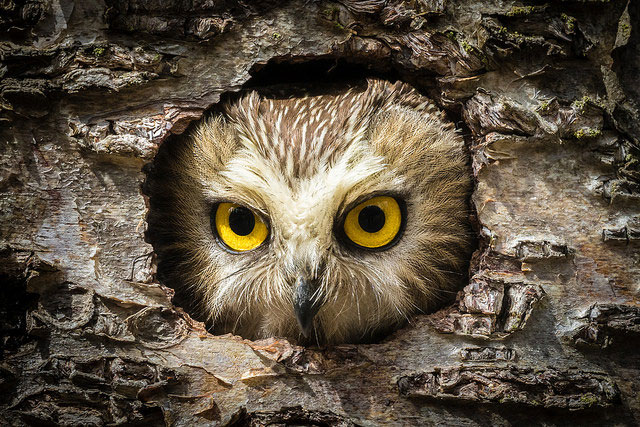--                         Northern saw-whet owl on the Kenai Peninsula,                         Alaska --
