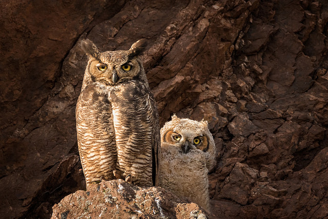 --                         Great horned owls taken in Morro Bay, California                         --