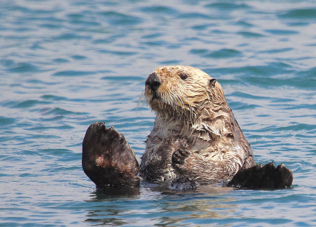 -- Sea                         otter, Morro Bay, California --