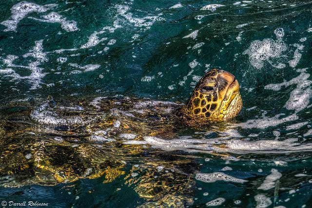 --                         Green sea turtle, taken at Princeville, Kauai,                         Hawaii --