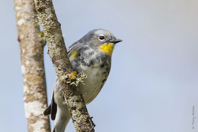 --                         Yellow-rumped warbler at Nisqually National                         Wildlife Refuge, Washington --
