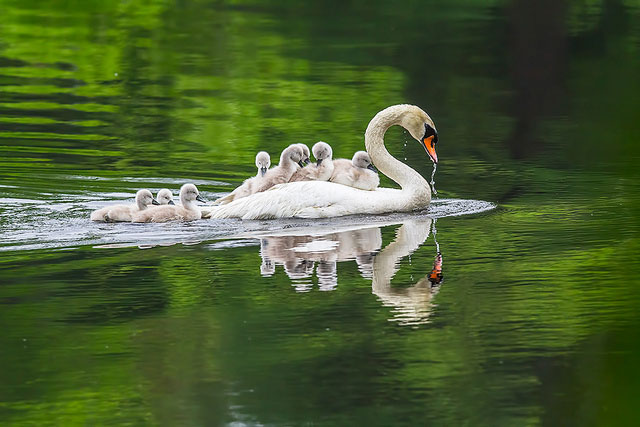 --                             Mamma swan and cygnets --