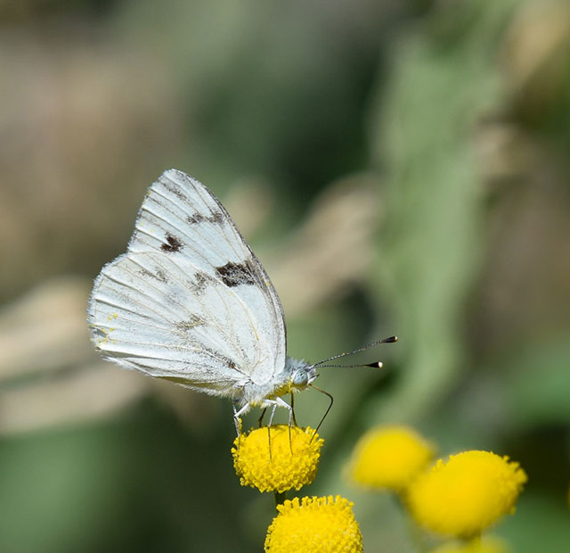 -- Checkered white         butterfly, Tres Rios Wetlands in Phoenix, Arizona --