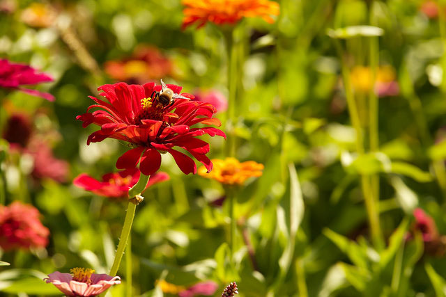 -- Zinnias and a bee         --