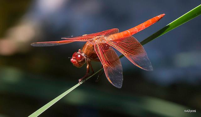 -- Dragonfly at the Santa Barbara Botanic Gardens, Santa Barbara, California --