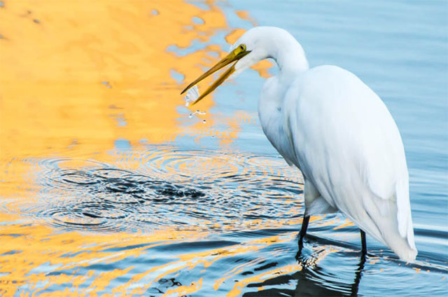 Great egret at             Morro Bay, California
