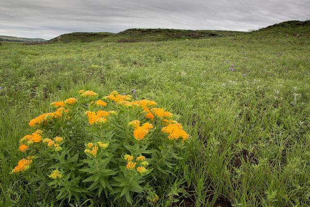 -- Blooming milkweed, Wilson Lake, Russell, Kansas --