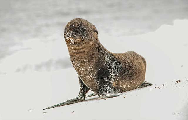 Baby sea lion on             the beach of the Español Island -- part of the Galápagos             Islands, Ecuador