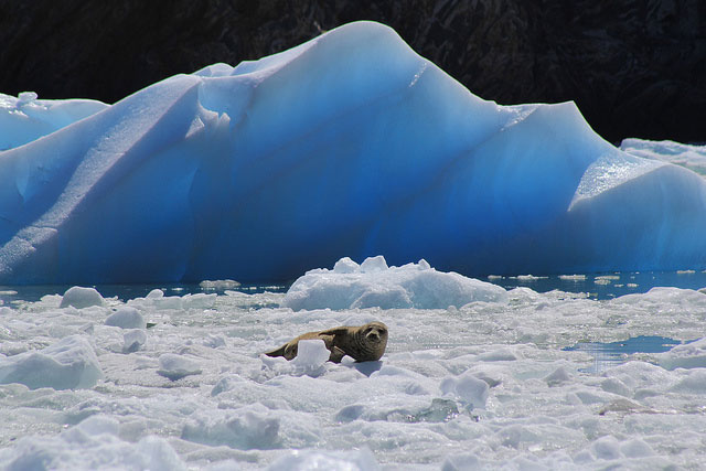 -- A seal on an           iceberg, taken at Tracy Arm Fjord during a day trip on a boat           the