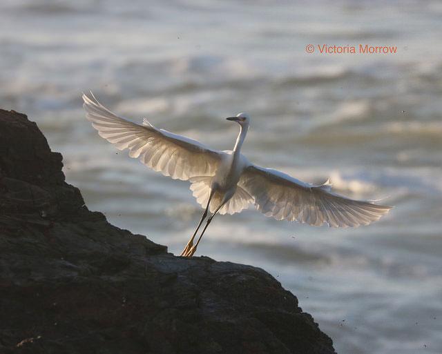Snowy egret,               Estero Bluffs, Cayucos, California
