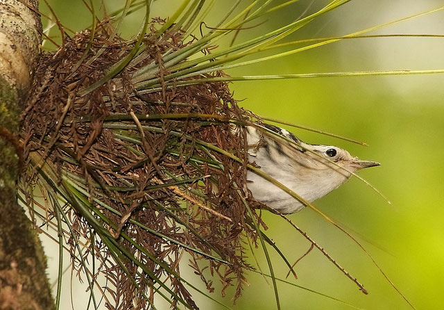 A                                         black-and-white warbler at the                                         Six Mile Cypress Slough                                         Preserve, Fort Myers, Florida