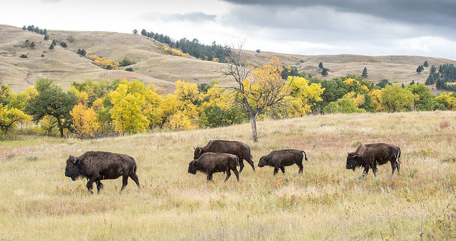 Bison at                     Custer State Park in South Dakota