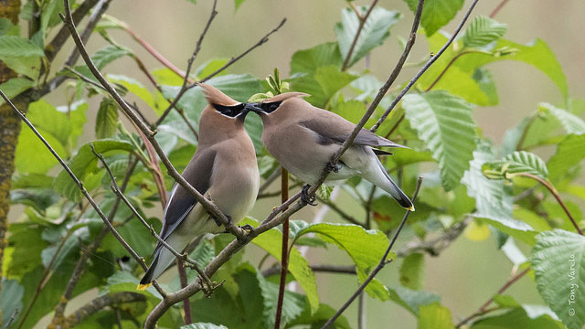 Cedar                   waxwing at the Billy Frank Jr. Nisqually National                   Wildlife Refuge in Washington
